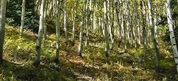 foret-bouleau-tronc-blanc-eclaire-luminosite-jour
