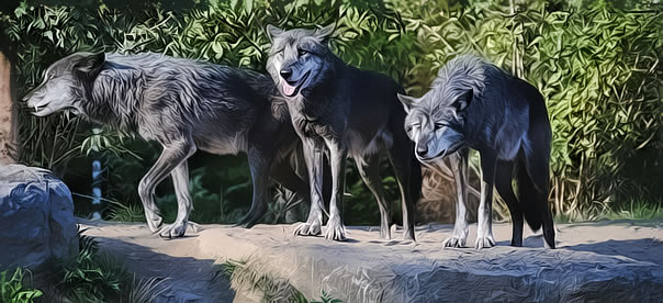 loup-horde-affame-pierre-buisson-attente